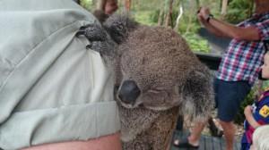 Här är ett slags djur som ni kanske inte vet vad det är, det är en bebiskoala som sover. Söt va?