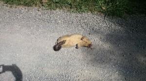 När vi åkte vidare så såg vi en död Possum